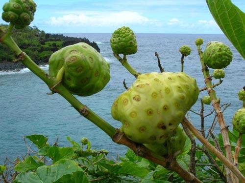 Нони фрукт