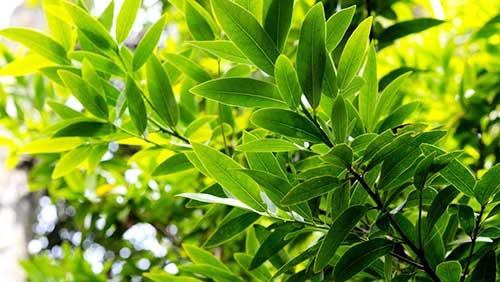 Лавровый лист на дереве