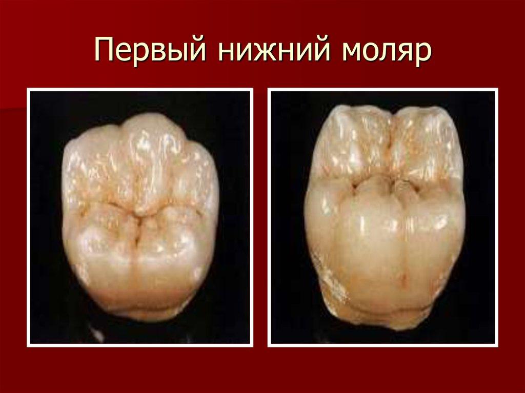 Кто такие зубы моляры