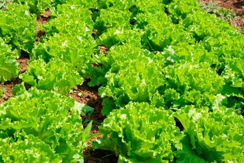 Салат листовой на гряде