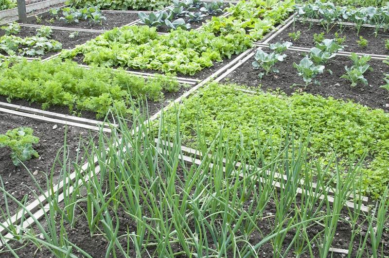 огород, зелень