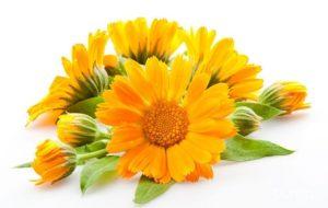 Календула цветок