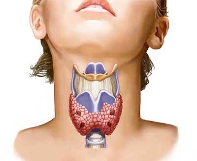 Щитовидная железа – важный орган эндокринной системы