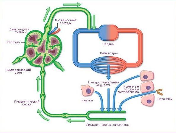 Лимфатическая система: строение и функционирование
