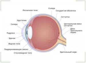 Палочки и колбочки сетчатки глаза
