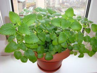 Сок каких домашних растений безопасен и поможет очистить лицо?