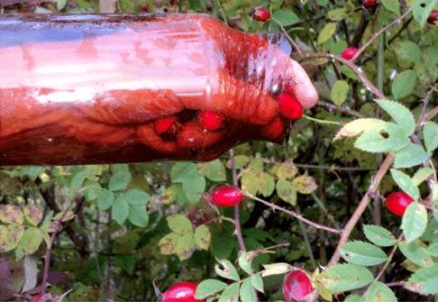 сбор ягод шиповника в бутылке