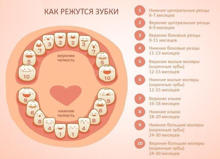 Строение молочного зуба у детей