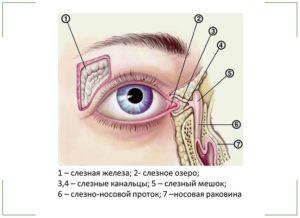 Анатомия слезной железы