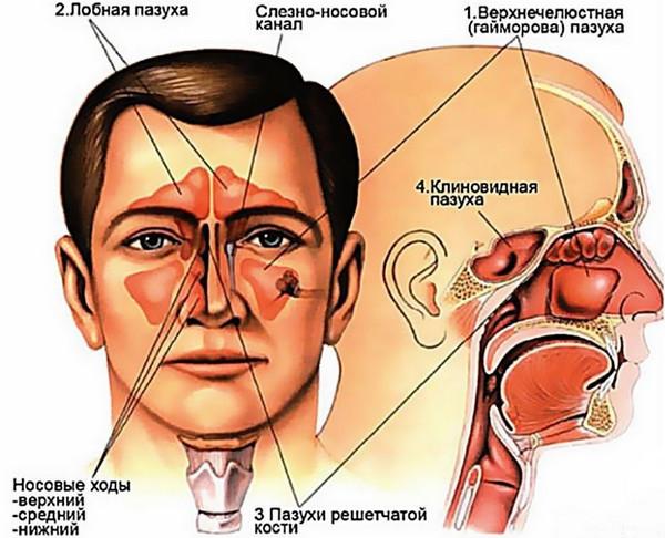 Нос и околоносовые придаточные пазухи
