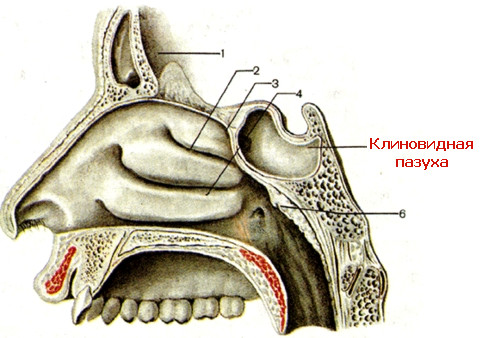 Воспаление основной пазухи